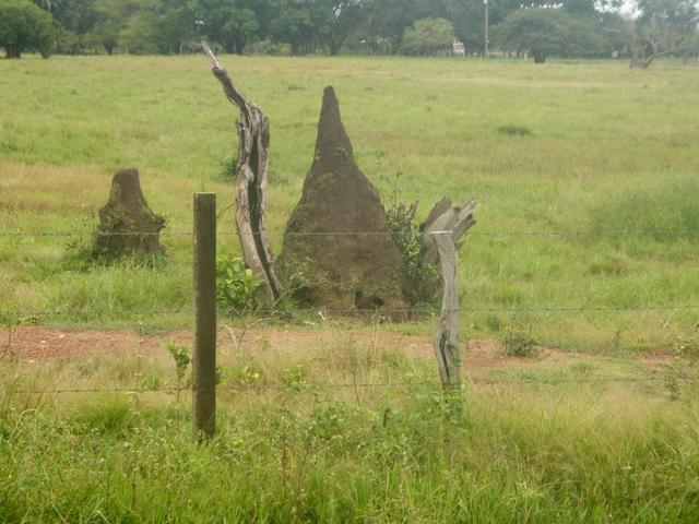 Some termite mounds.